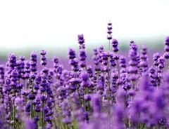 LAVENDER IS AN ANTISEPTIC