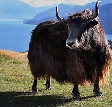 CHAMCHA KIDS!- DO YOU KNOW ABOUT 'YAK'?