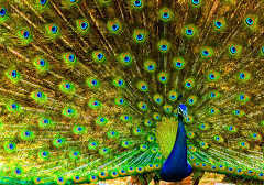 PEACOCK DANCES; PARROT SPEAKS. – WHY OTHER BIRDS OR ANIMALS ARE NOT DIFFERENT?