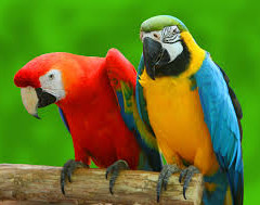 HOW DO PARROTS TALK
