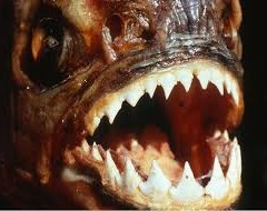 FACTS OF THE UNIVERSE- PIRANH  FISHES EAT PEOPLE WITHIN 5 MINUTES: