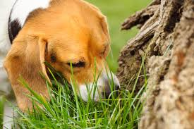 DOGS EAT GRASS FOR HEALTH